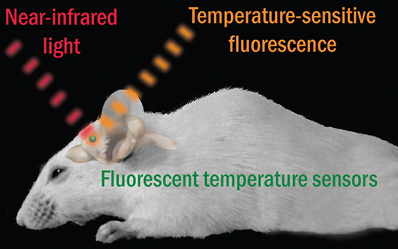 Image showing near-infrared light being used to measure rat brain temperature