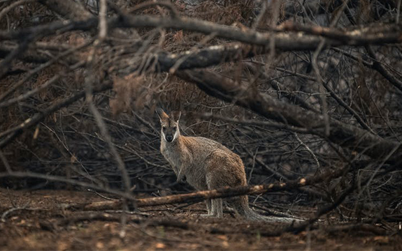 Kangaroo in the wilderness surrounded by bushfire damage