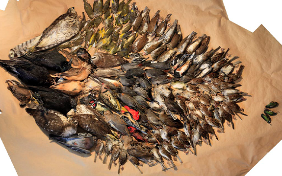 These birds were killed by flying into a set of surveyed buildings in Washington DC in 2013.