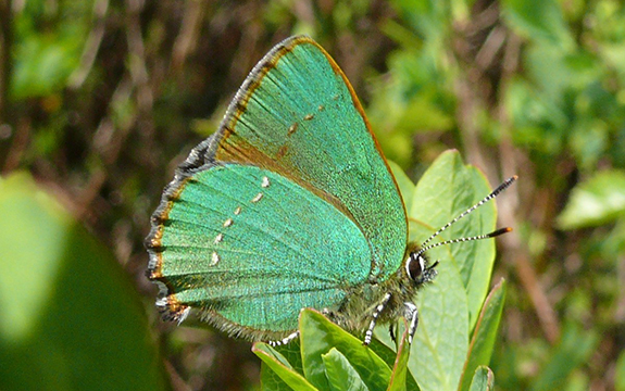 Nanostructures on the wings of the Callophrys Rubi or Green Hairstreak butterfly have inspired the design of an artificial material that could be used in photonics and optics technologies.
