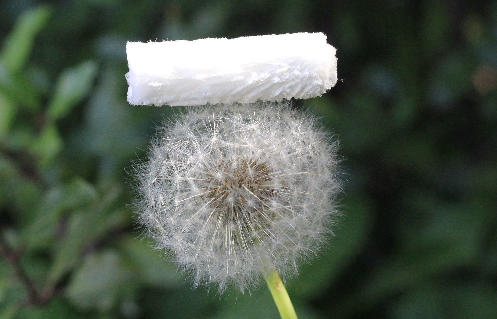 A newly invented white fluffy-looking material sits lightly atop a dandelion flower.