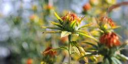 Safflower plant © CSIRO https://www.csiro.au/en/Research/AF/Areas/Plant-Science/Bio-based-oils/SHO-safflower