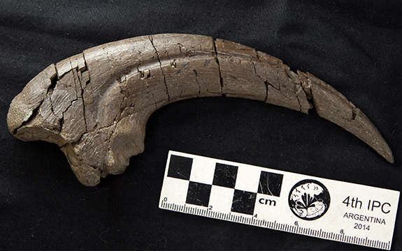 20 centimetre long hand claw of theropod discovered on Otway Coast of Victoria